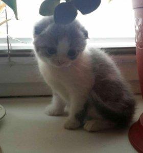Котенок-вислоухая британка