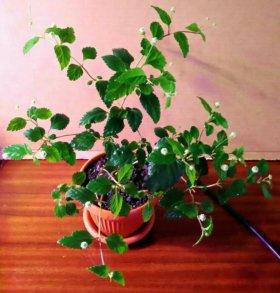 Липпия сладкая Lippia dulcus