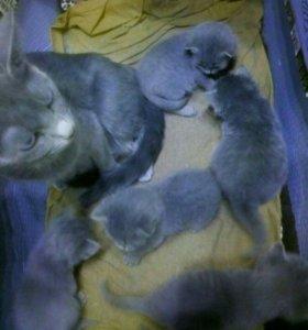 Русские голубые котята!