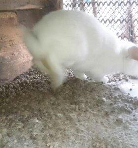 Кролики 5 шт годовалые