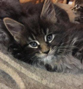 Продаются котята Мейн-Кун от отлич. производителей