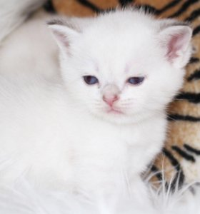 Котята драгоценного окраса золотая шиншилла-поинт