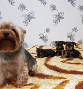 Продаются щенки йоркширского терьера