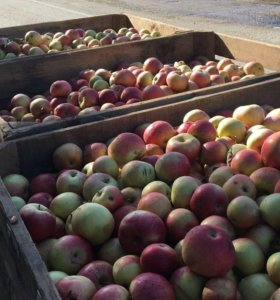 Яблоки светлогорские