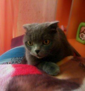 Шотландская веслоухая кошка