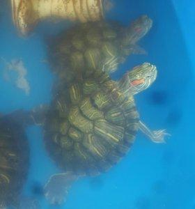 Продам черепаху Красноухую