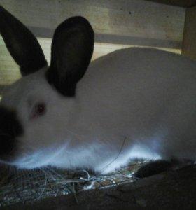 Кролики калифорнии