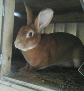 Кролики Рекс Голд в паре