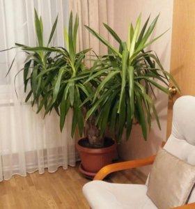 Растение юкка