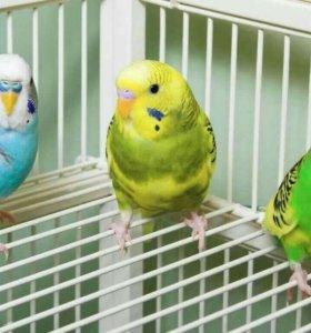 Три волнистых попугая
