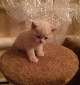Продам котят шотландской породы