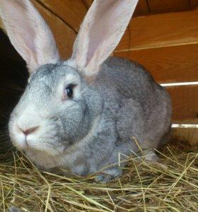 Кролики, порода Серый Великан