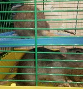 Две крысы с клеткой