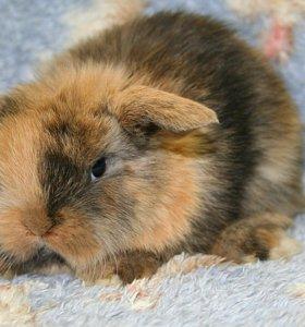 Карликовый кролик.питомник