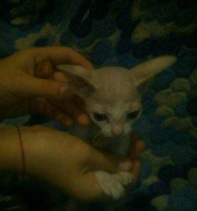 Девочка котёнок сфинкс срочно продаётся