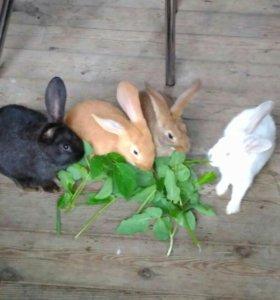 Кролик калифарнийский