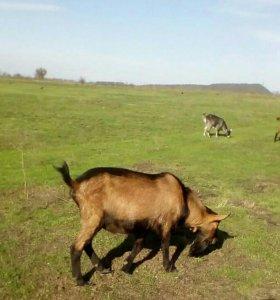 Чешский козел на племя