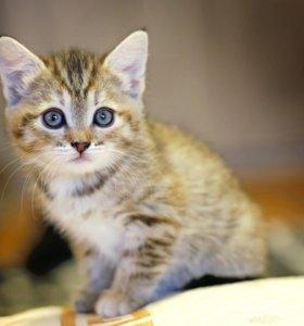 Котенок прямоухая девочка