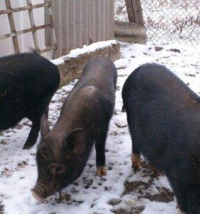Свинки въетнамские