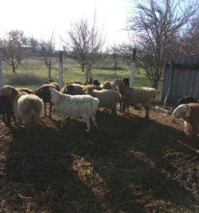 Овцы котные
