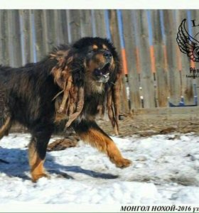 Банхар монгольская овчарка, волкодав