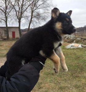 Продается щенок недорого!