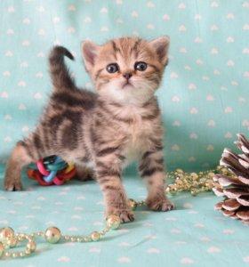 Продажа породистых британских котят