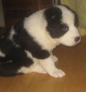 сука чёрно-белая (тиграш) САО щенок