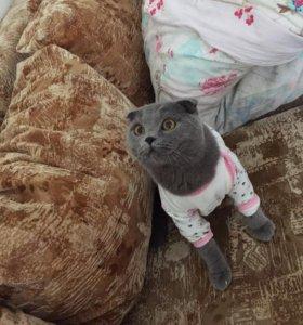 Вязка с шотландским вислоухим котиком
