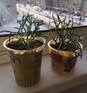 Растение 🌱 Хатиора