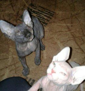 Котята сфинксы