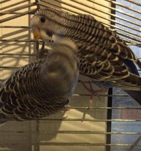 Попугаи волнистые. 3 месяца