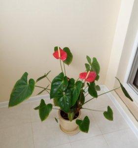 Цветок Спатифиллум красный