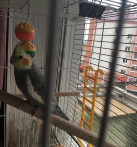 Продаётся попугай корелла вместе с клеткой