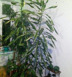 Цветок Дроцена в горшке.