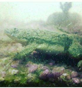 Шпорцевая лягушка 🐸