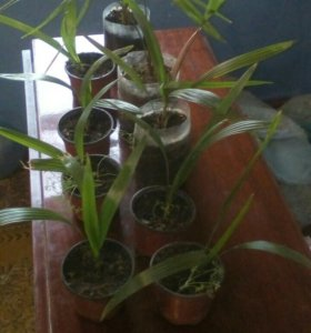 Трахикарпус форчуна (пальма южная)