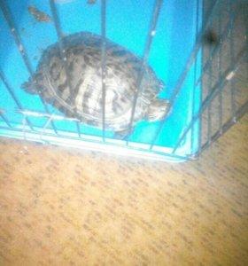 Породистая Красноухая черепаха