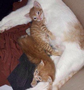 Отдадим рыжих котят