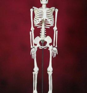 """Модель """"Скелет человека"""" 85см - Новый"""