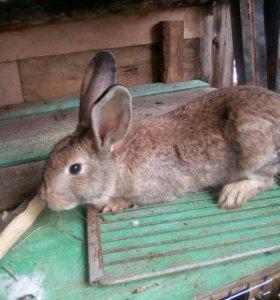 Продам взрослых кроликов.на мясо.осталось 16 шт.