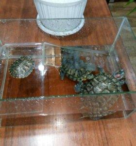 Ручные Красноухие черепахи 3 шт.