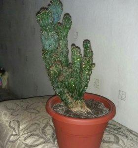 Кактус цереус перуанский