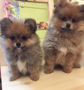 Померанские щенки(мальчики)