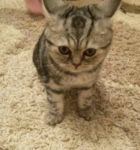 Котенок мраморный британец