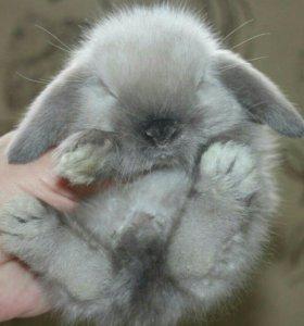 Крольчата  вислоушки от заводчика