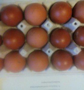 Яйцо инкубационное кур породы Маран