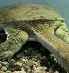 Черепаха Китайская