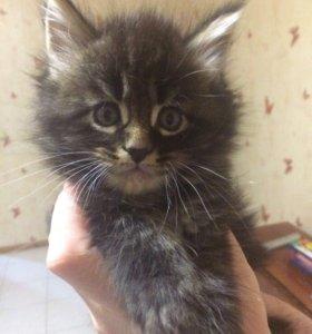 Котяты мэйн-кун