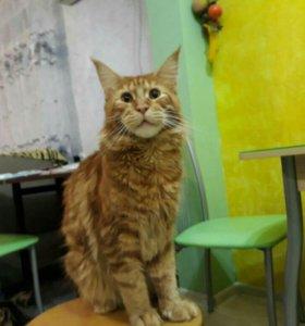 Продаются котята мейн-кун